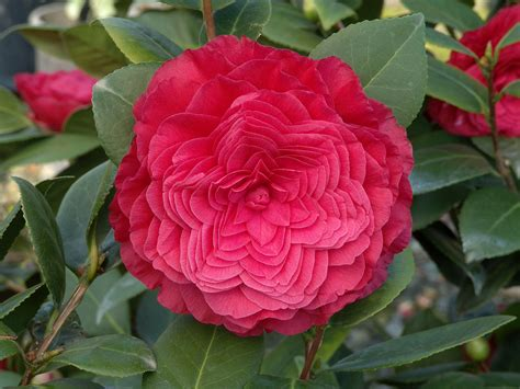 camellia plant care www pixshark com images galleries with a bite