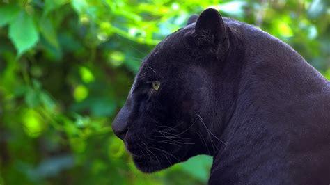black panther animal desktop wallpaper black panther full hd wallpaper and background 1920x1080