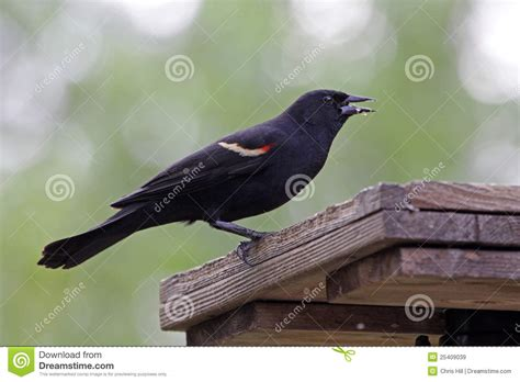 red winged blackbird eating royalty free stock images