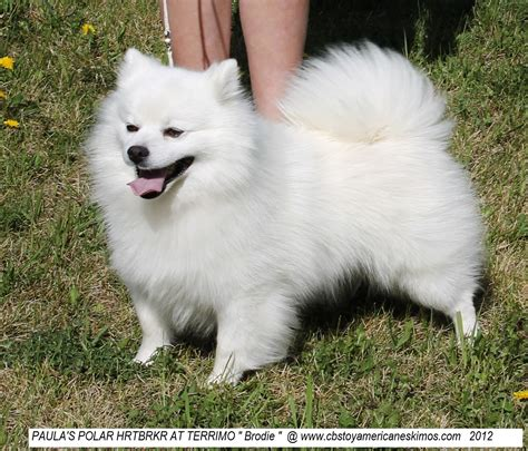 american eskimo puppy for sale image gallery eskie