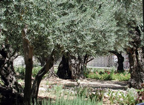 giardino dei getsemani getsemani la buona strada