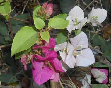 wallpaper bunga bougenvile macam macam warna dan corak bunga bougenville untuk