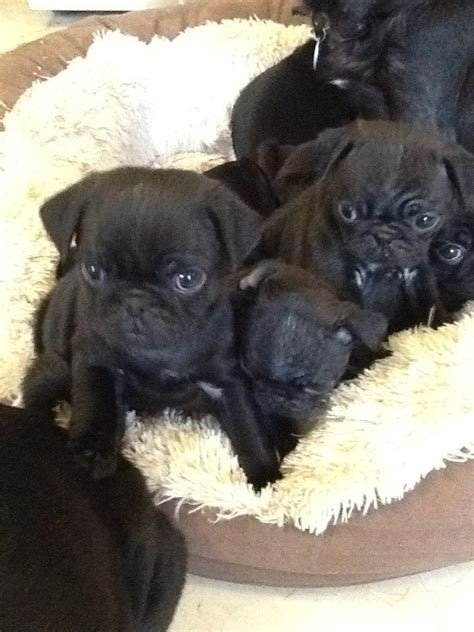 pug pedigree 14 week black pedigree pug ready now oakham rutland pets4homes
