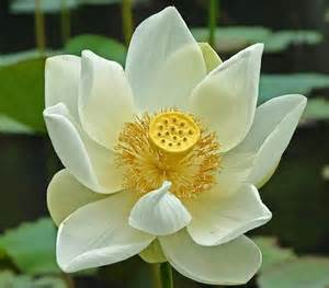 White Lotus Flower White Lotus Flower Symbolism And Meanings