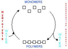 carbohydrates a polymer protein monomers macromolecules nucleic