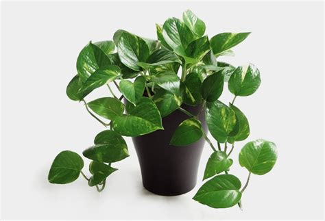 best desk plants desk plants will bring life to your office cool material