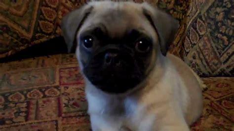 the cutest pug the cutest pug