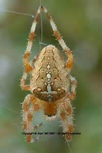 Garden Orb Spider Uk Bite This Spider Attacked Me 171 Singletrack Forum