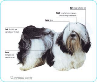 difference between shih tzu and lhasa apso difference between vs dogs rachael edwards