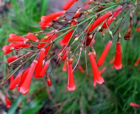 Lu Hias Air Jatuh tanaman air mancur merah firecracker bibitbunga