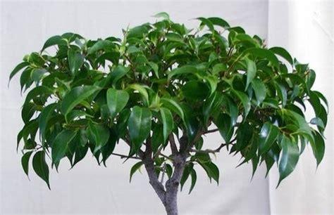 Potatura Ficus Benjamin by Potatura Ficus Benjamin Ficus