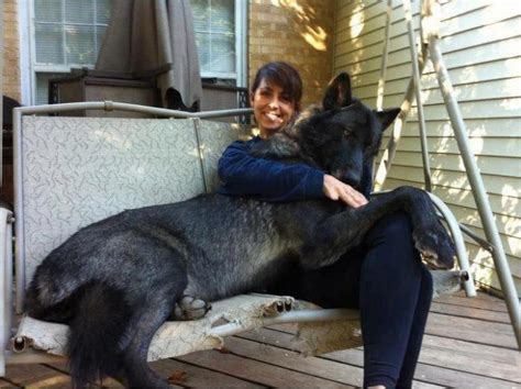 german shepherd wolf hybrid german shepherd and wolf hybrid gentle and sweet soul also called quot arctic tundra