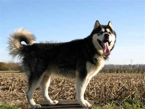 alaskan malamute colors alaskan malamute colors in addition to the various