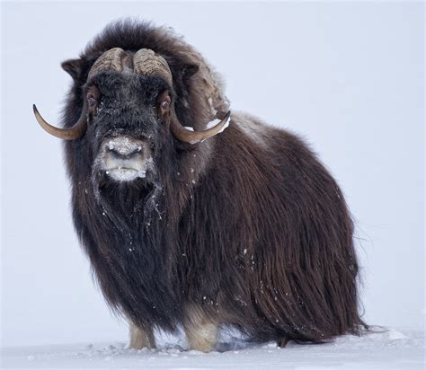 musk ox  crazy eyes    miles north
