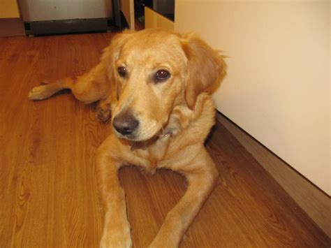 10 month puppy golden retriever puppy 10 months for sale faringdon oxfordshire pets4homes