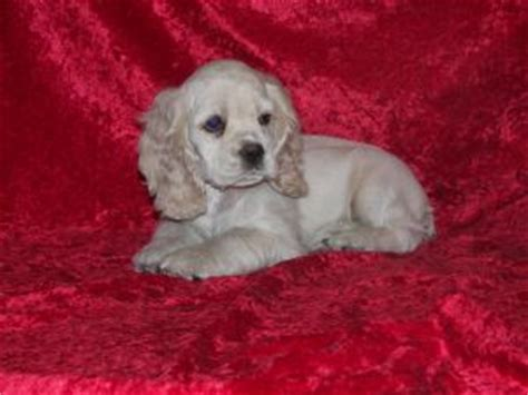 cocker spaniel puppies for sale in indiana cocker spaniel puppies in indiana