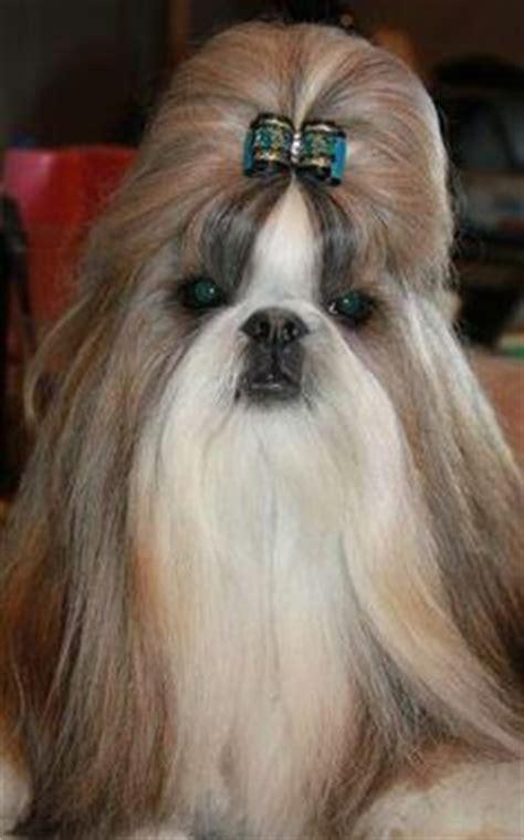 hashanah shih tzu 1000 images about shih tzu on shih tzu shih tzu puppy and bows