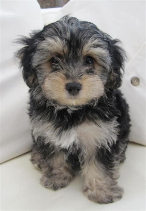 yorkie poo hairstyles pictures 20 best yorkie poo haircuts images on pinterest yorkie