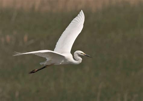 imagenes garzas blancas garza blanca egretta alba aves naturegate