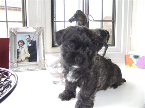 shih tzu westie mix shih tzu mix westie puppies sheffield south pets4homes