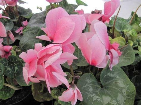 fiori da vaso invernali fiori da vaso invernali simple originari messico dove