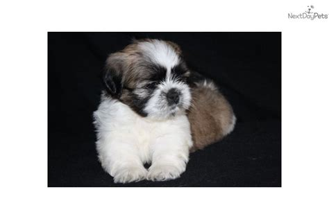 lhasa shih tzu mix for sale benji az shih tzu lhasa apso designer mix shih tzu puppy for sale near lancaster