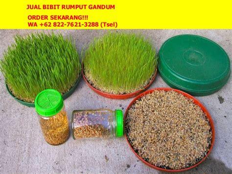 Jual Bibit Rumput Gandum Di Jakarta 62 822 7621 3288 tsel bibit wheatgrass jakarta