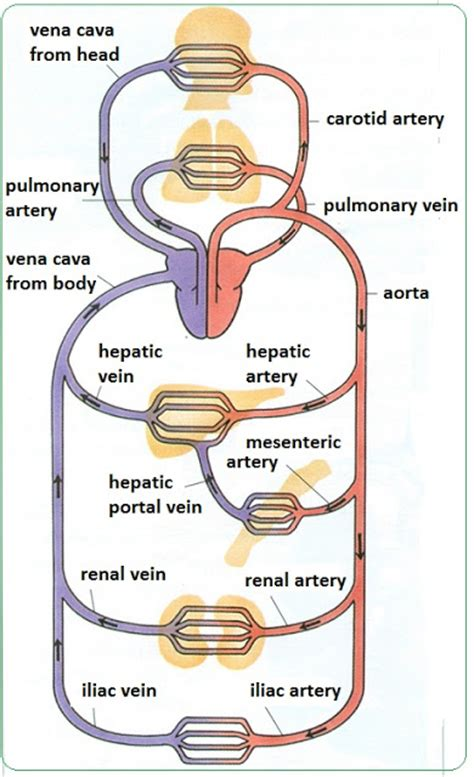 veins and arteries diagram 72 arteries veins and capillaries structure and