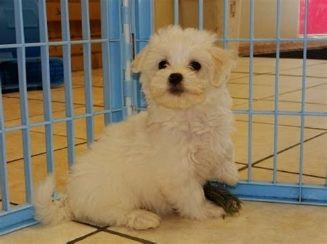 dogs for sale tucson lhasa apso puppies dogs for sale in tucson arizona az 19breeders glendale