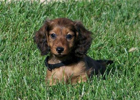 dachshund puppies price haired dachshund puppies for sale with price list