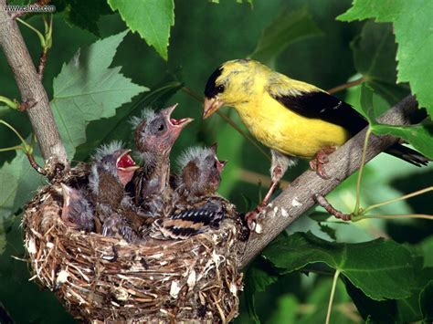 follow the piper goldfinches