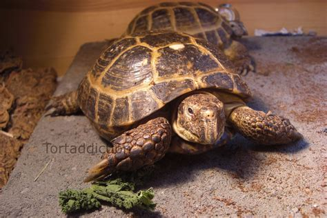 russian tortoises tortaddiction meet the tortoise stars