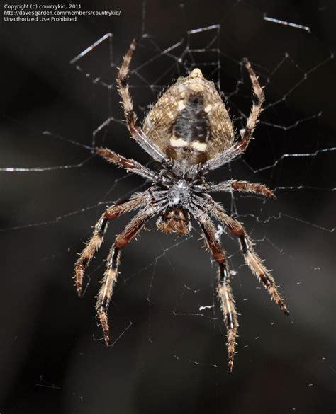 Garden Orb Weaver Spider by Bug Pictures Garden Orb Weaving Spider Eriophora