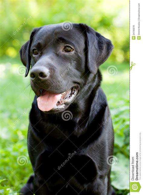 free black lab puppies black labrador retriever royalty free stock photos image 24700378