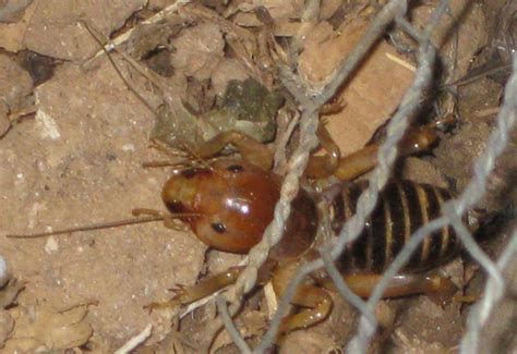 bed bugs spanish images and places pictures and info navajo jerusalem cricket