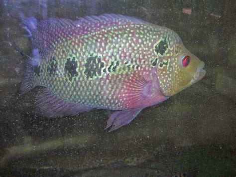 Pakan Ikan Louhan Buat Jenong budidaya gambar dan cara merawat ikan louhan yang benar