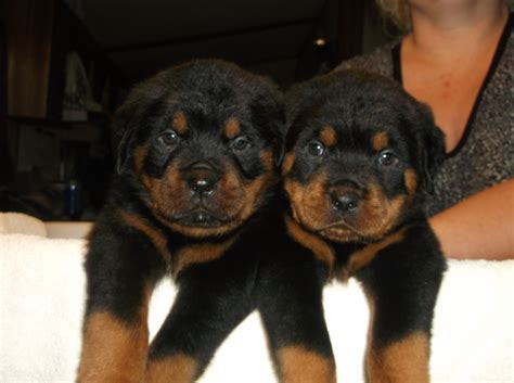 rottweiler puppies for sale dallas tx rottweilers puppies for sale in dallas tx