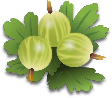 free vector graphic gooseberry berry fruit free image