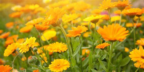 calendula fiori fiori commestibili calendule acquista