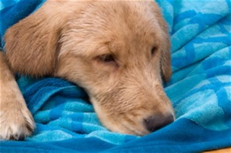 golden retriever diarrhea treatment vomiting information causes and treatment