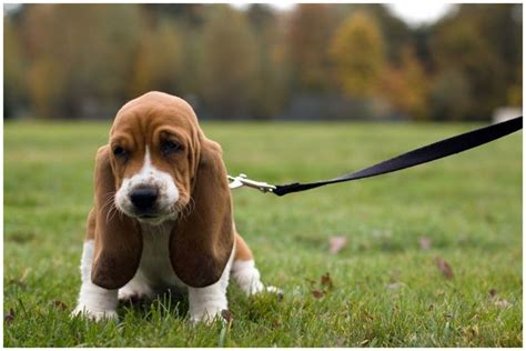 basset hound puppy rescue basset hound pictures rescue puppies breeders temperament animals breeds