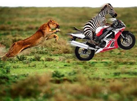 Coole Bilder, Zebra flieht auf Honda Motorrad vor Löwe