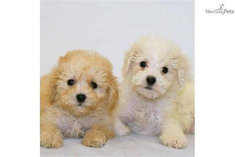 yorkie cockapoo yorkiepoo yorkie poo puppy for sale near columbus ohio 03c9e9d9 1f51