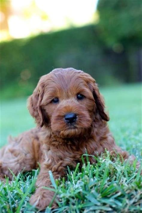 Non Shedding Labradoodle by 17 Best Ideas About Non Shedding Dogs On