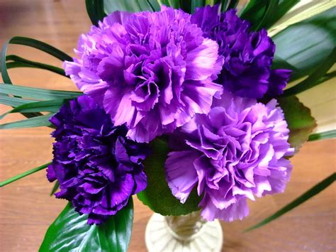 facts about carnations carnations facts types plant growing and caring tips
