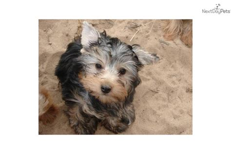 yorkie puppies for sale in albuquerque terrier yorkie puppy for sale near albuquerque new mexico 0f433478 8ec1
