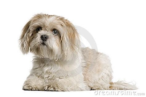shih tzu lying shih tzu lying and looking up royalty free stock photography image 12485977