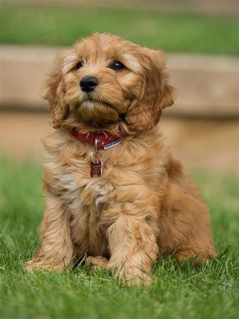 scottish golden retriever names wienerhuahuas will inherit the earth the blend y world of breed names oupblog
