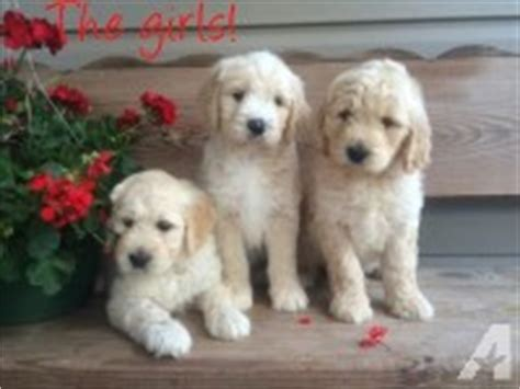 golden retriever puppies for sale 500 dollars akc silver labrador retriever puppies for sale in ambrose classified