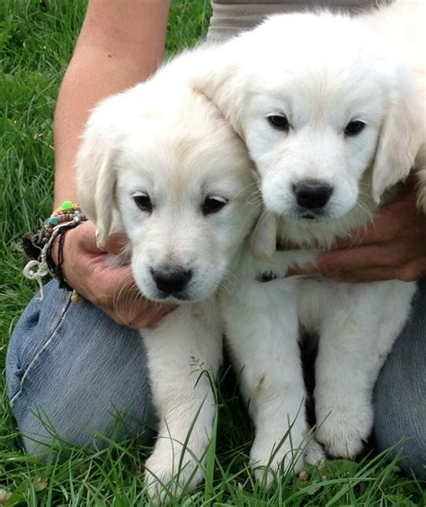 golden puppies for sale golden retriever puppies for sale wisbech